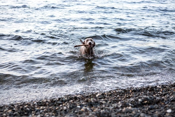 Dog carrying stick in his mouth coming out of the lake