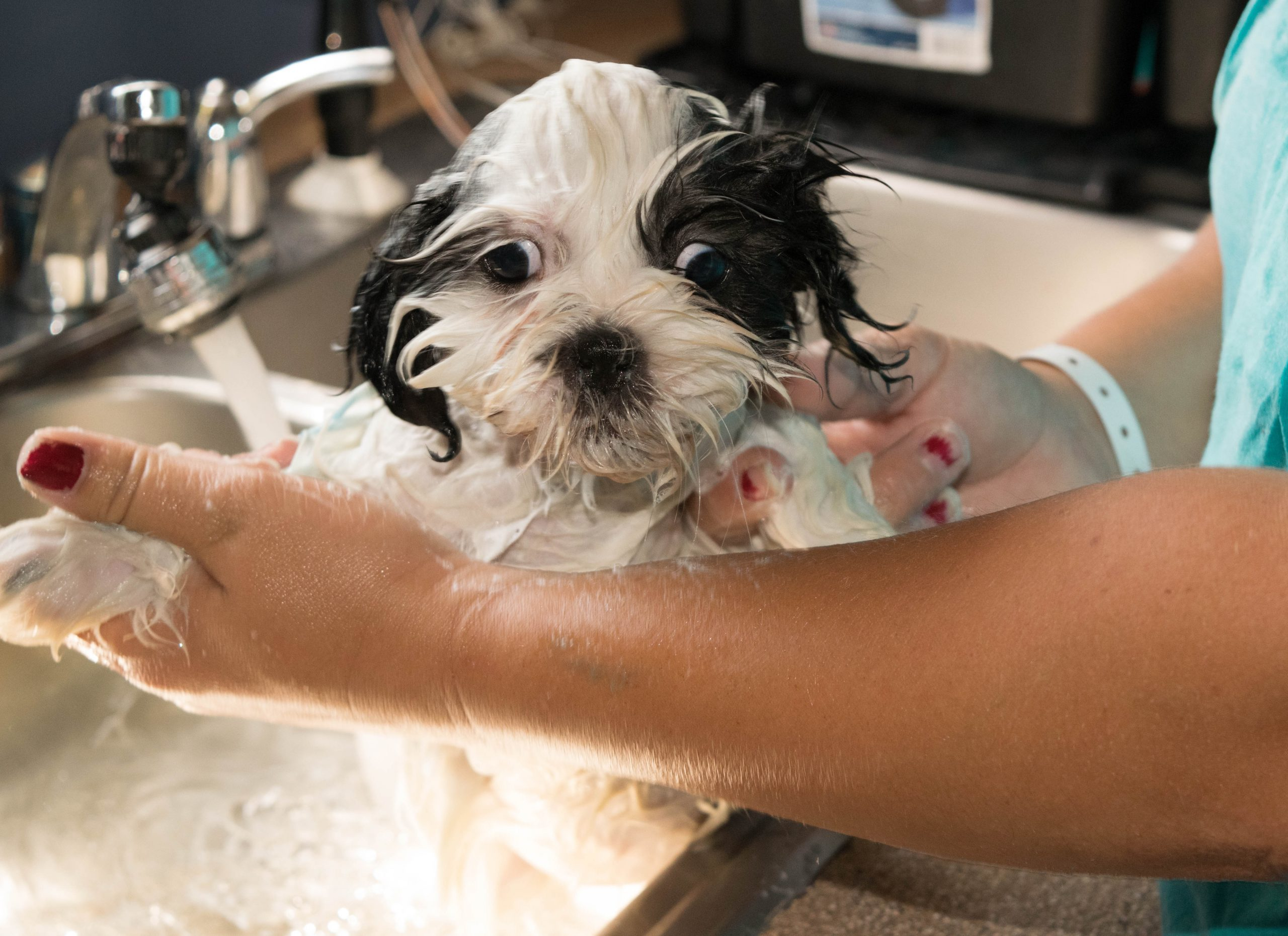 Midsection Of Woman Bathing Shih Tzu Puppy In Sink At Home