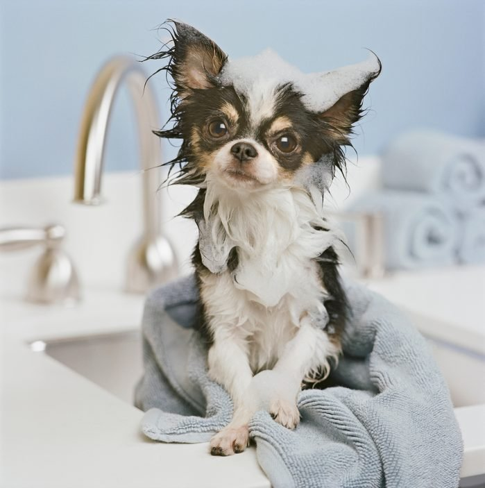 Chihuahua puppy wrapped in towel on sink, close-up