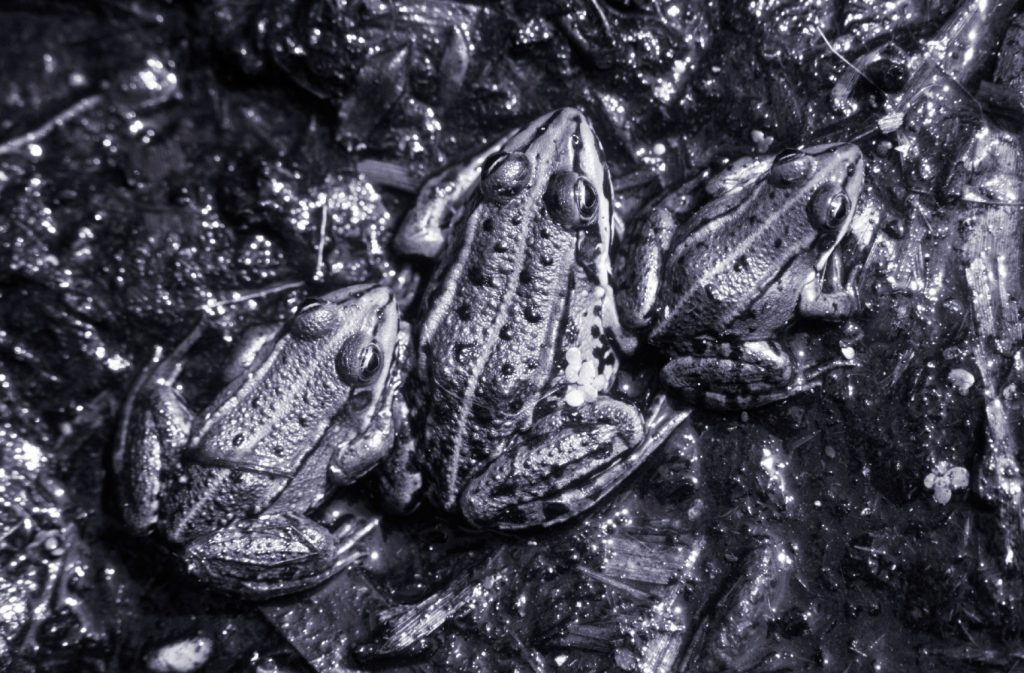 poetry contest frogs