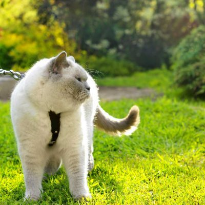 train cat walk on a leash