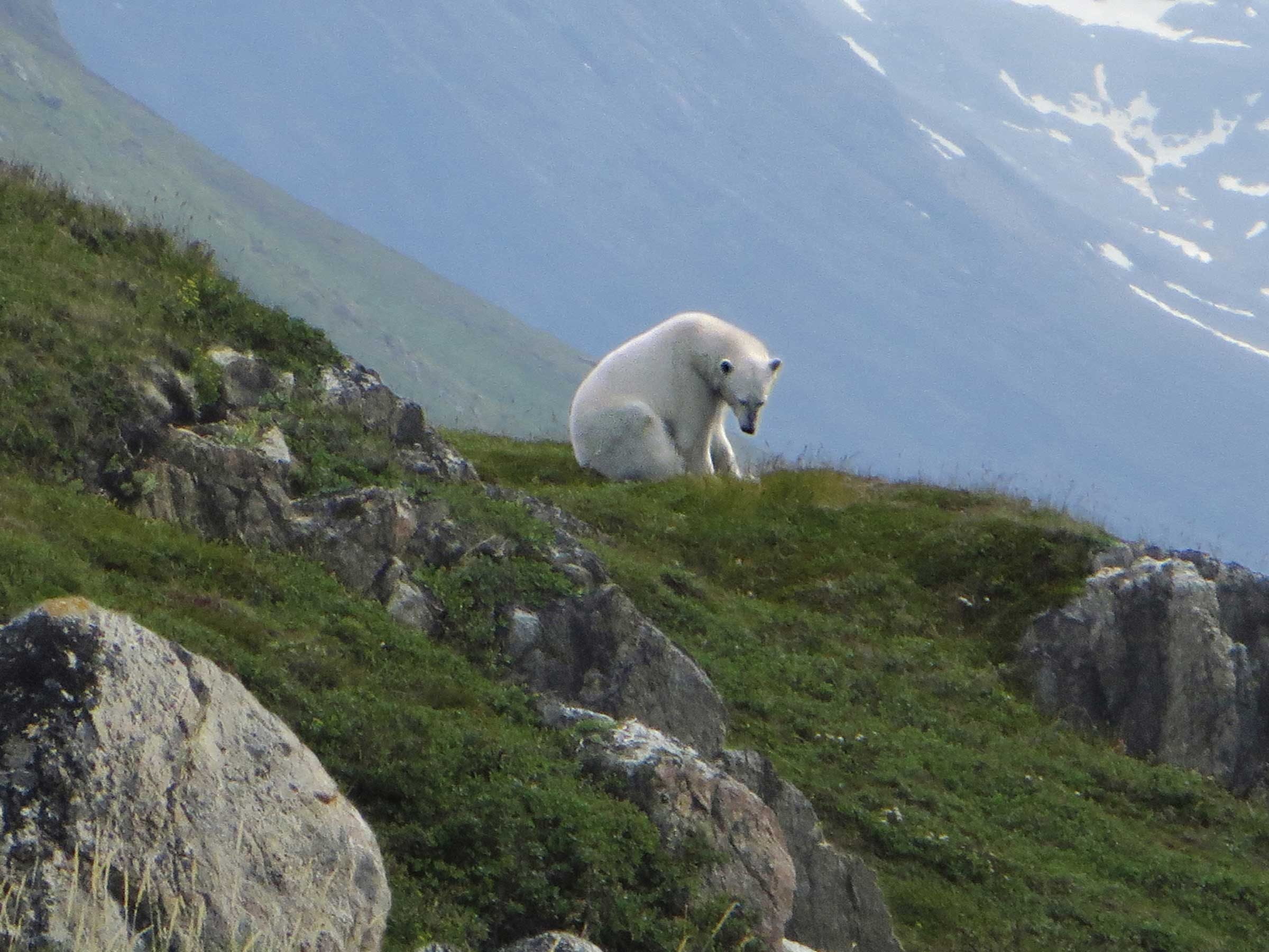 How One Man Escaped A Polar Bear Attack Readers Digest - This bear is rolling down a hill is having the time of his life