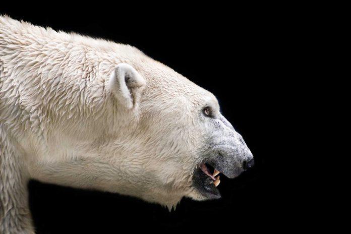 march 2016 polar bear
