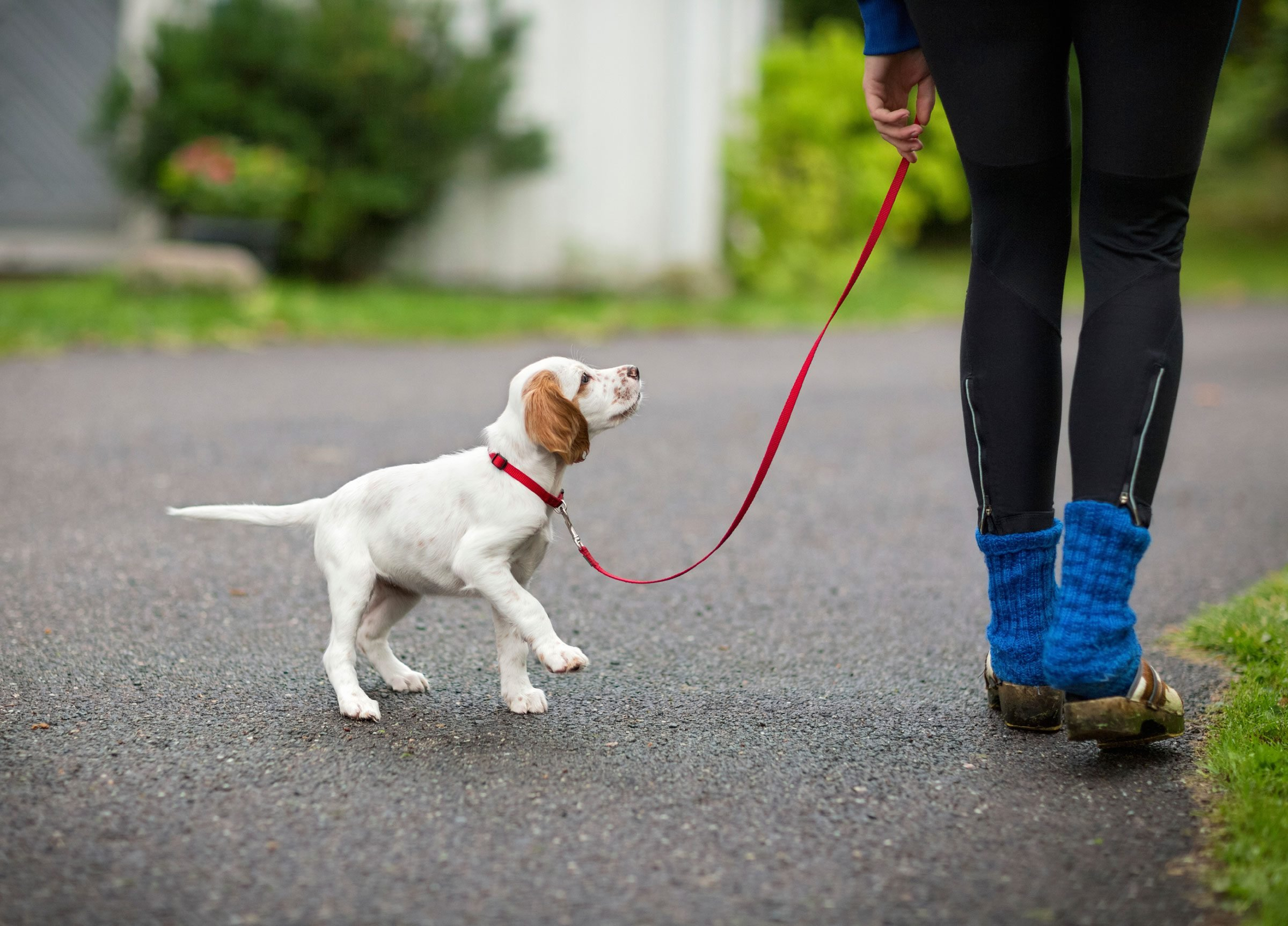 How To Train Dog To Not Use A Leash