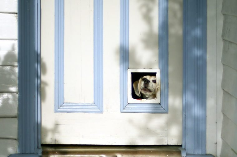 Beagle puppy looking through pet flap