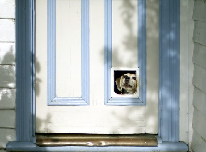 Beagle puppy looking through pet flap