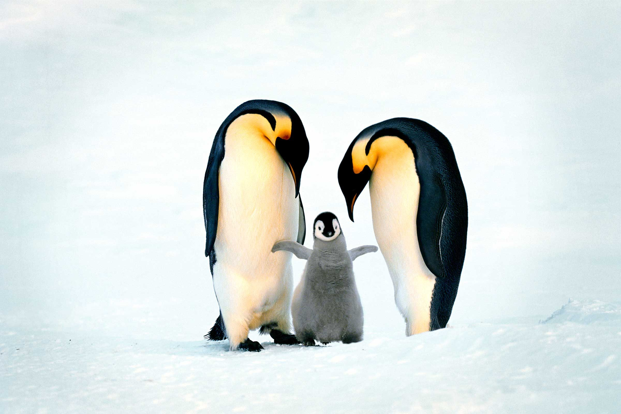 amazing moms penguins
