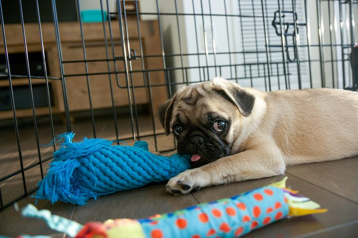 Pug Puppy Playing in Playpen