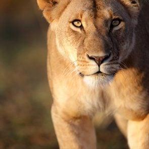 animals changed history lioness