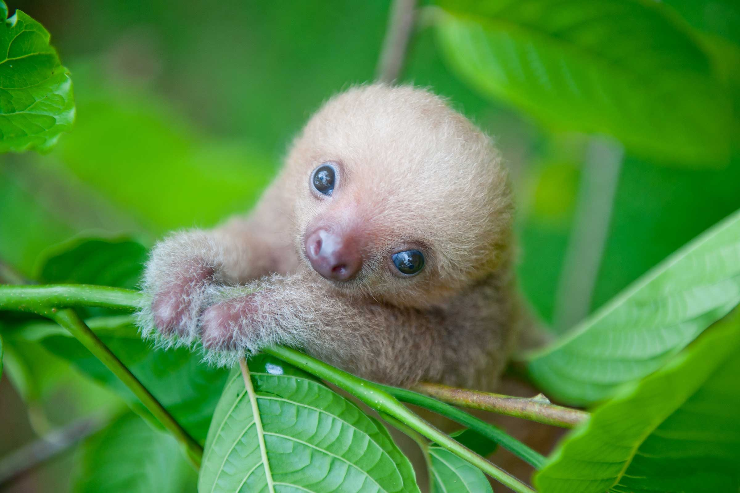 cute sloth pictures adorable photos of sloths reader s digest
