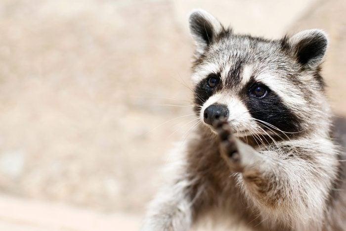 smart animals racoon