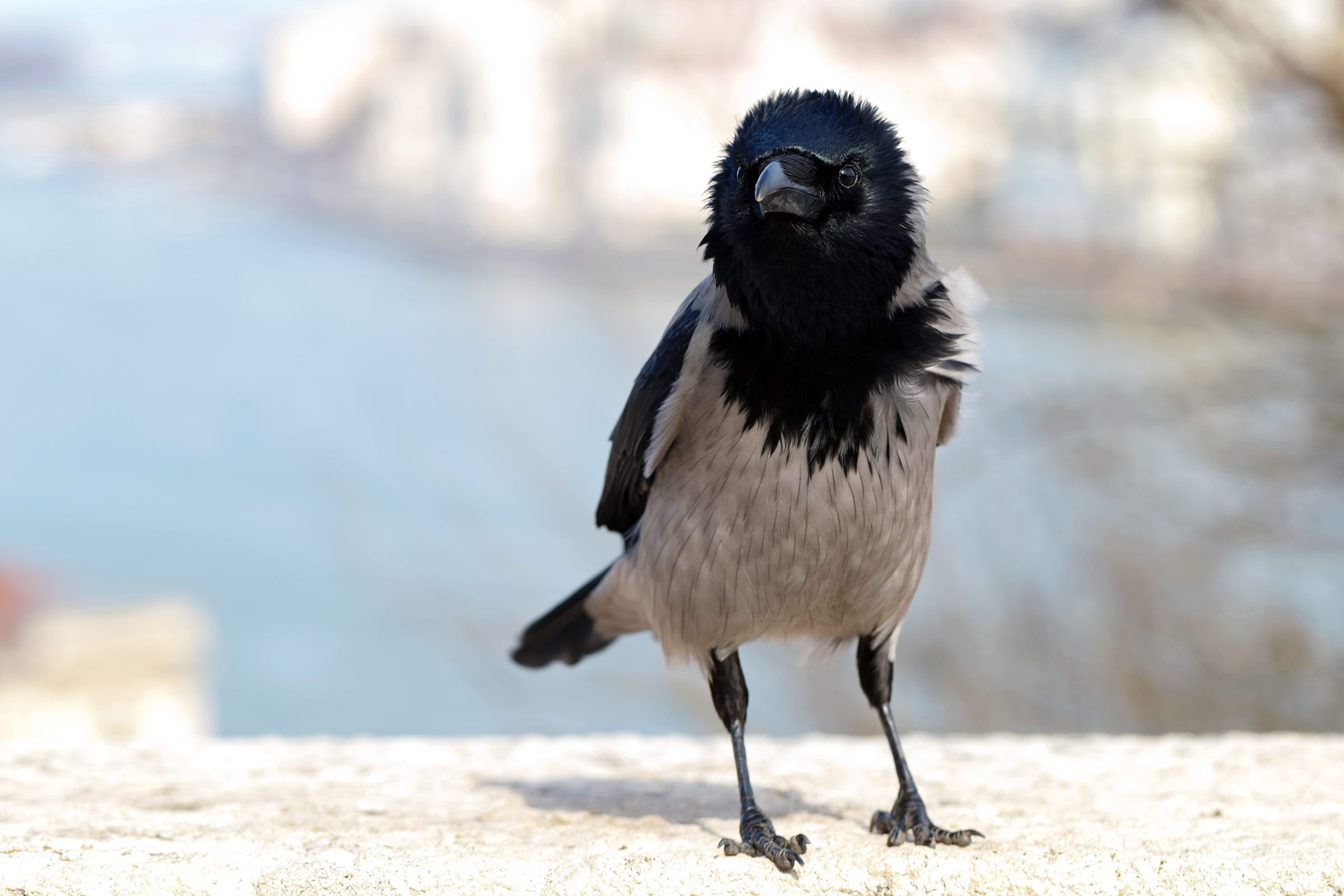 smart animals crow