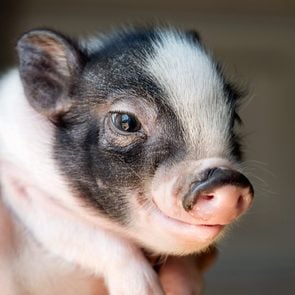 smart animals piglet