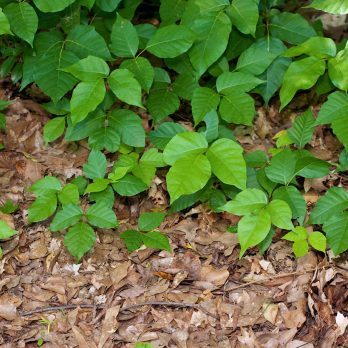 5 Poison Ivy Remedies You Have at Home