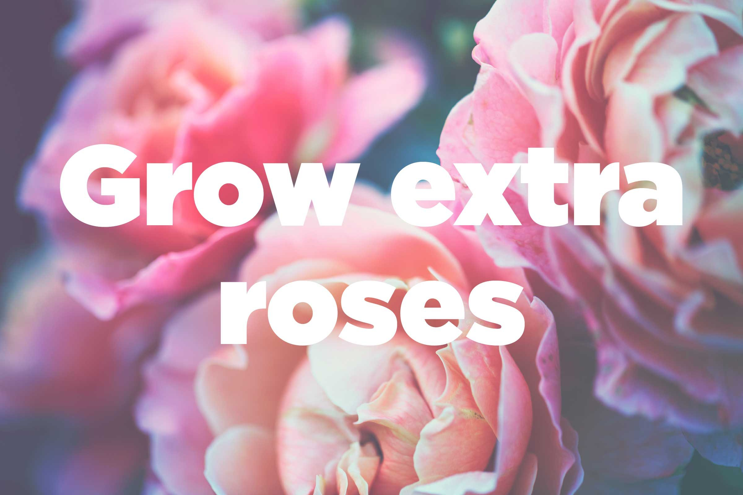 growing roses everything you need to know and more