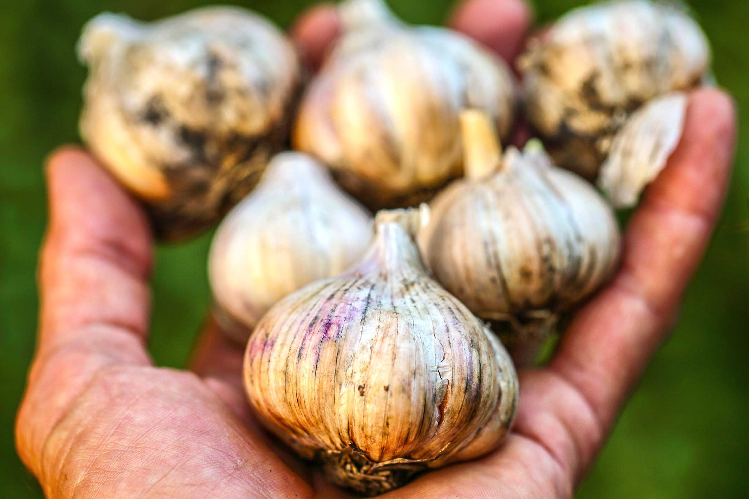 garlic for mosquitoes Garlic barrier does repel mosquitoes from your yard, but you may prefer our companion product mosquito (tm) allow them to sit and soak for 24 hours gardening australia the garlic effect abc .