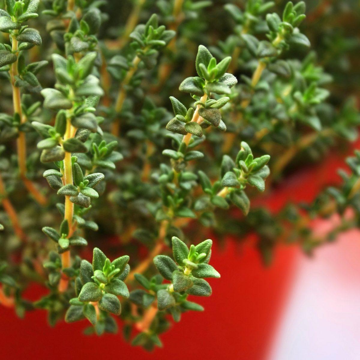 Medicinal Herbs You Can Grow   Reader's Digest