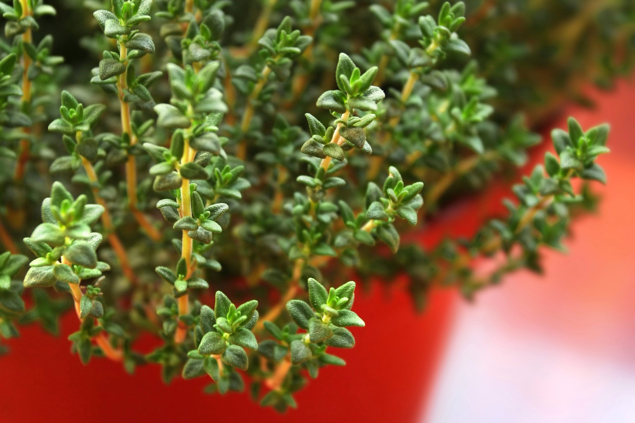 Medicinal Herbs You Can Grow | Reader's Digest
