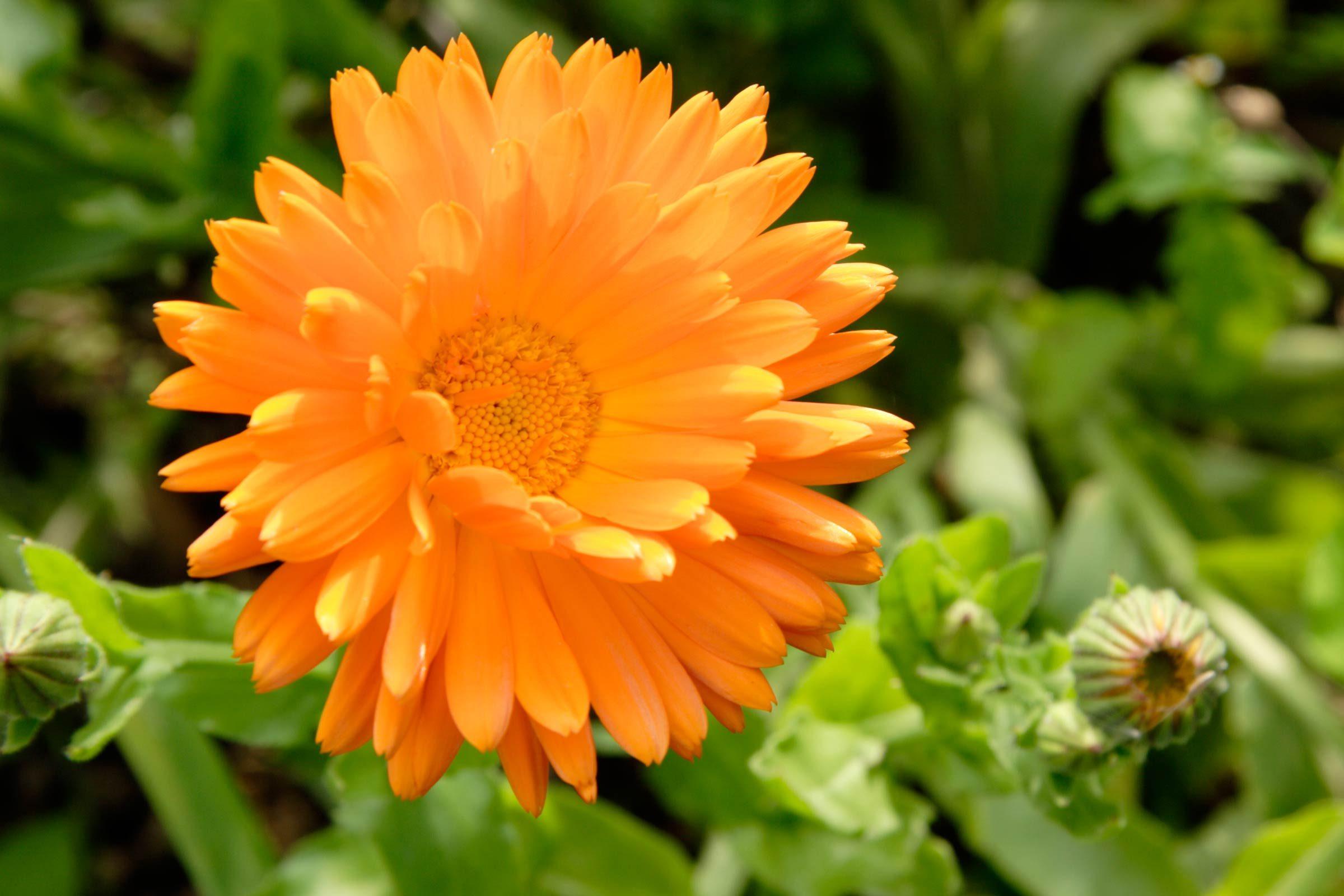 calendula - Garden Flowers