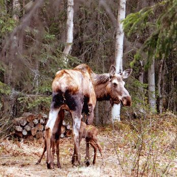 Things You Learn in Alaska: Baby Moose Twins Are Actually Adorable