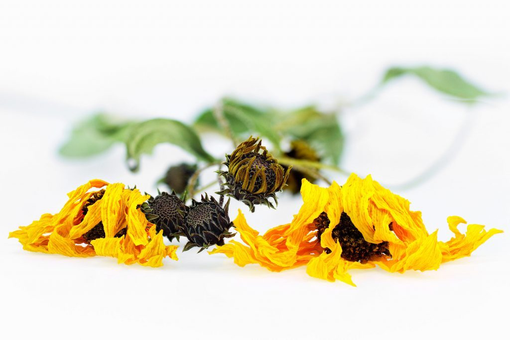 benefits-arnica-anti-inflammatory