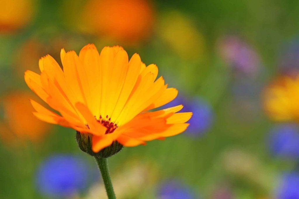 benefits-of-calendula