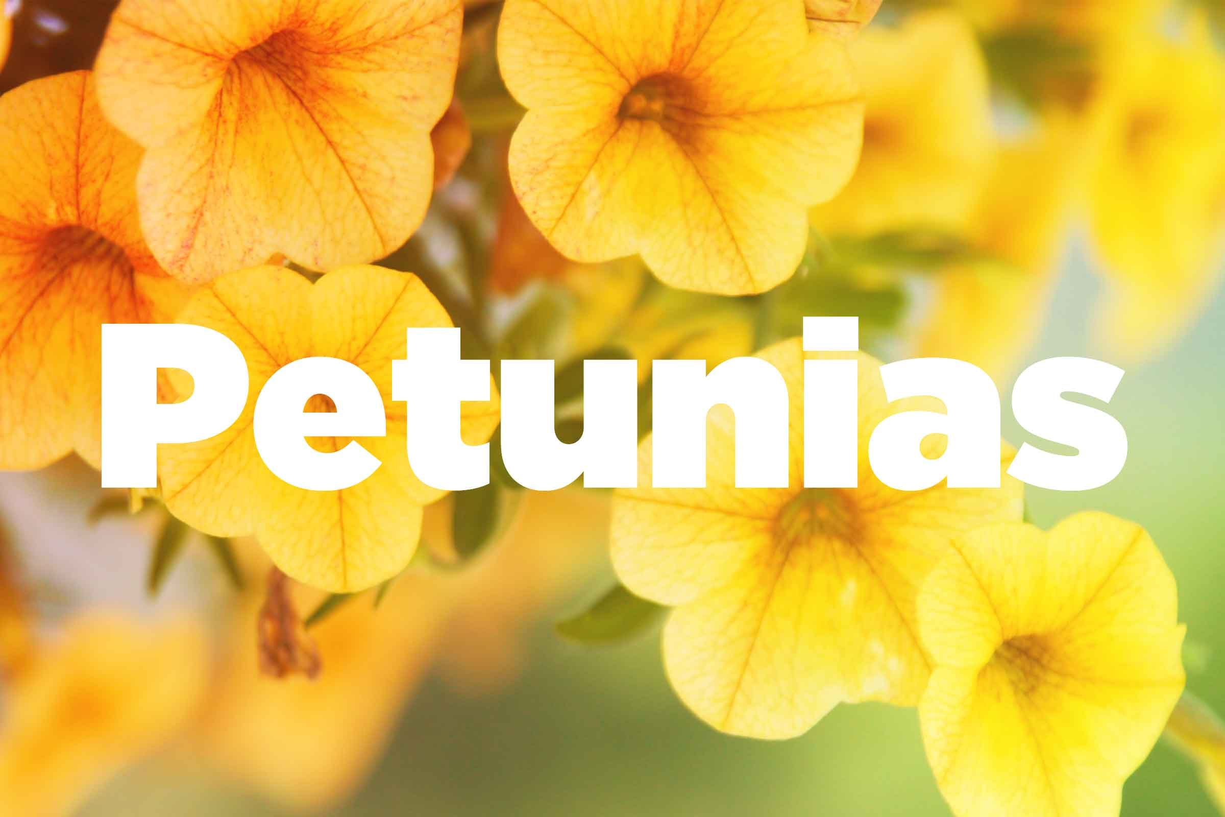 Petunias Especially Trailing Or Double Flowered Types