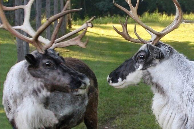 reindeer87