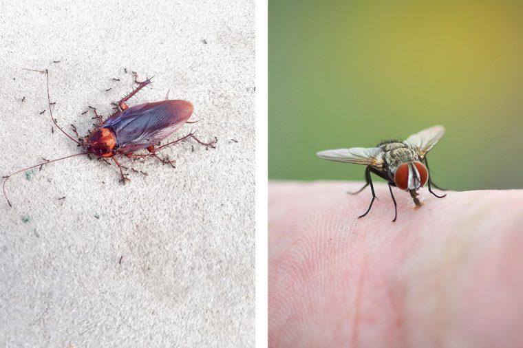 cockroach fly