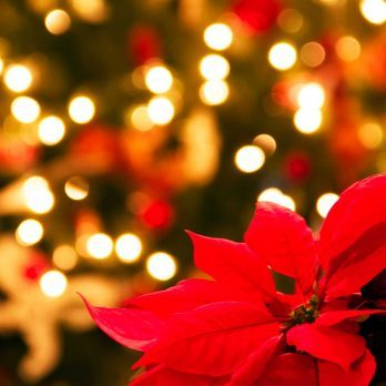 This Is Why Poinsettias Are the Official Christmas Flower