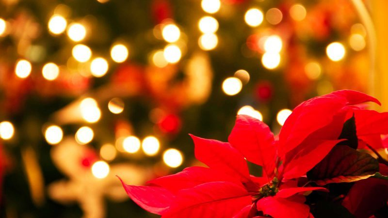 this_Why_poinsettias_official_christmas_flower