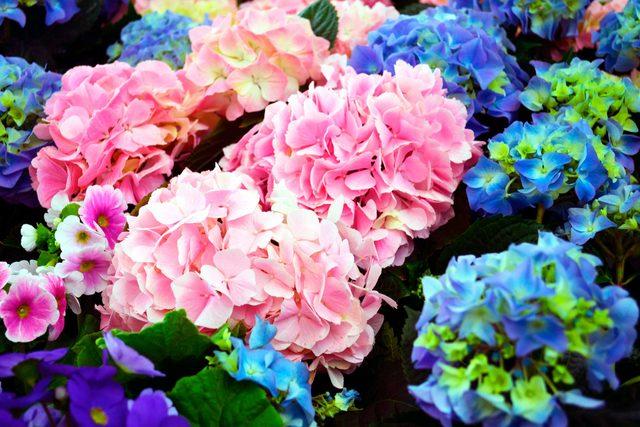festive_flowers_buy_instead_poinsettias_christmas_hydrangeas