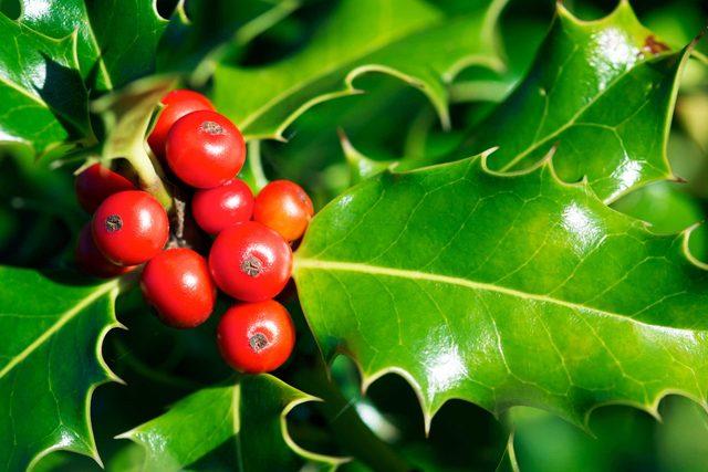 festive_flowers_buy_instead_poinsettias_ilax_berries