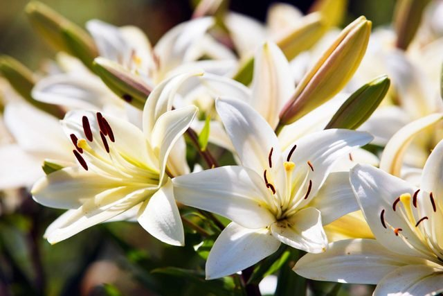 festive_flowers_buy_instead_poinsettias_lillies