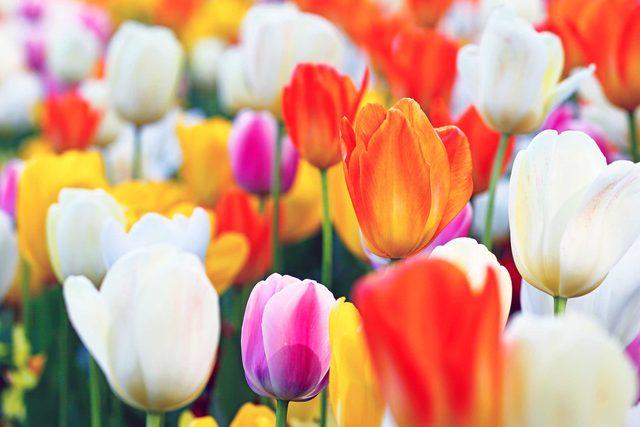 festive_flowers_buy_instead_poinsettias_christmas_tulips