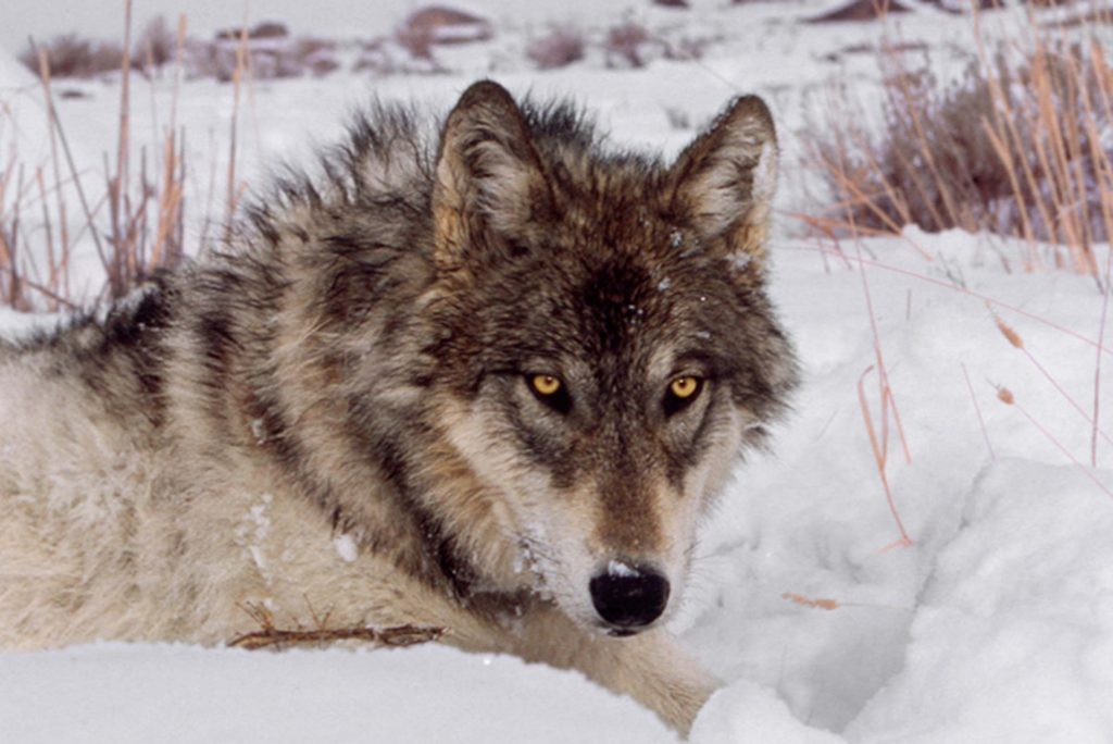 how to be an alpha male according to wolves reader s digest