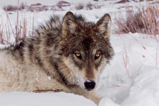 dec-jan-2017-inner-wolf-alpha-male-US161205B