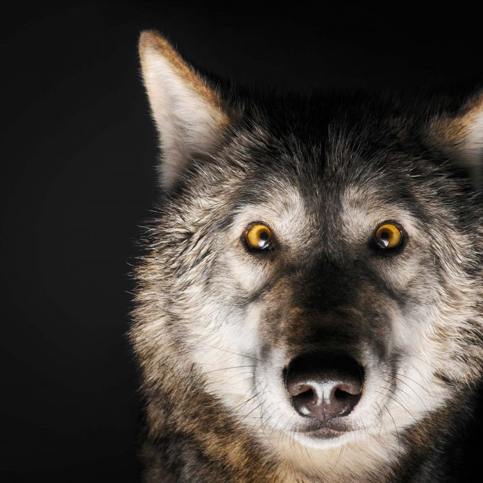 """Think You Know What """"Alpha Male"""" Means? These Wolves Will Prove You Wrong"""