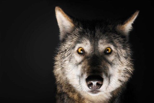 dec-jan-2017-inner-wolf-alpha-male-opener-US161205A