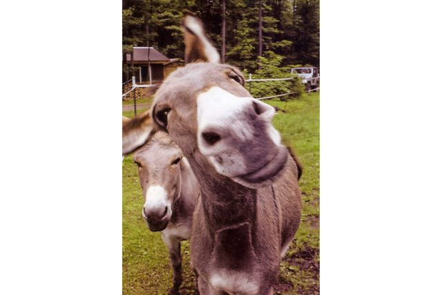 prepare-to-be-amazed-samson-is-the-smartest-donkey