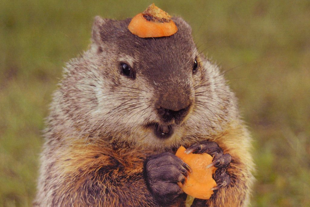 Check Out This Groundhog Wearing A Carrot Hat Reader S
