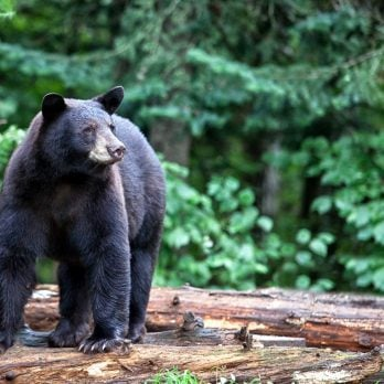 You're Confronted By a Bear … What Should You Do Next?