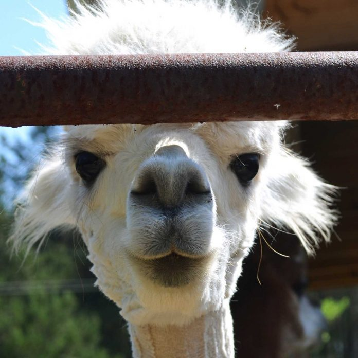 Sarah Conyer Didn't Even Know What an Alpaca Was. Now She and Her Husband Run an Adorable Alpaca Ranch.