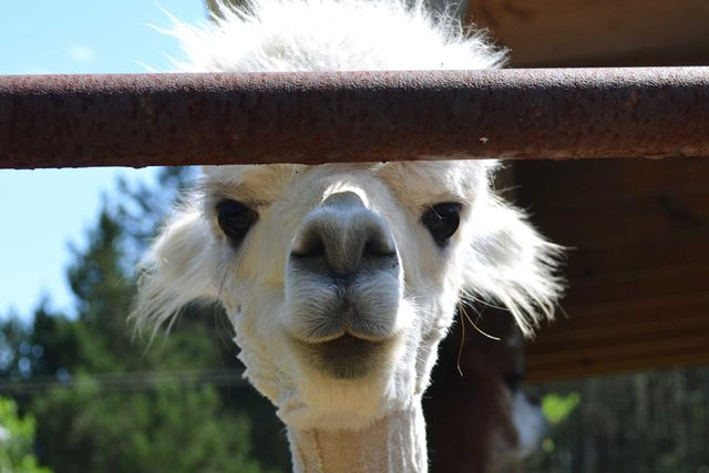 01-shortly-after-she-learned-what-alpacas-were