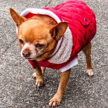 The Dog Who Ate Christmas—Was Of Course a Chihuahua Mix!