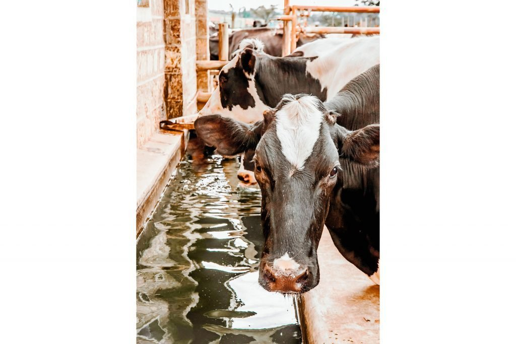 their-cows-waterer_60596588-frl1