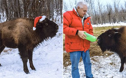This Family Raises Bison as Pets (They're Kind of Adorable)
