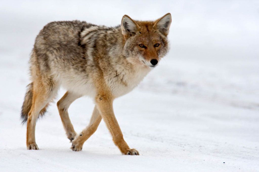 Coyote Attacks What Do You Do Next Readers Digest