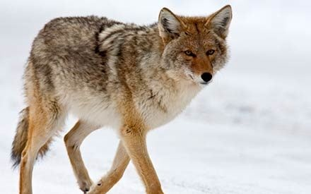 When You See a Coyote, What Should You Do Next?