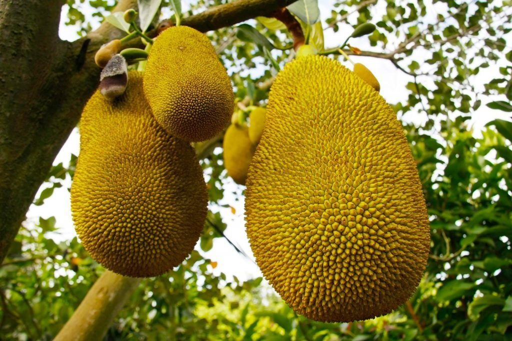 01_What_the_heck_is_jackfruit